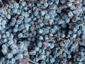 Amarone Grapes